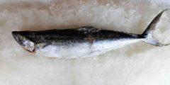 tenggiri-padi-beku-frozen-spotted-mackerel